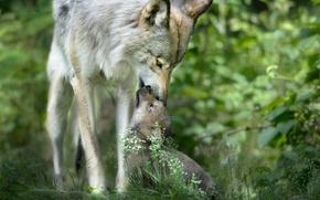 Картинка забота, волчица, дикая природа, волчонок