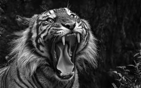Картинка пасть, клыки, тигр