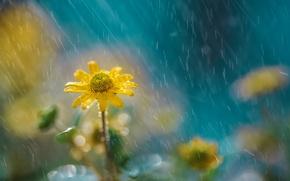 Картинка цветок, природа, дождь