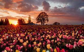 Картинка поле, солнце, деревья, цветы, тюльпаны, много