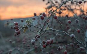 Картинка иней, осень, ветки, куст, плоды