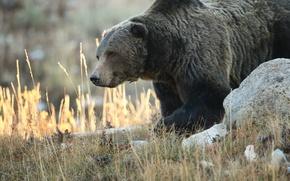 Картинка природа, животное, медведь, гризли