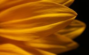 Картинка цветок, макро, желтый, лепестки, черный фон