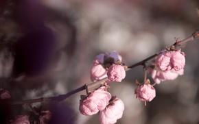 Картинка цветы, розовый, нежность, розы, весна