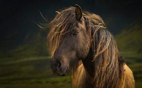 Картинка взгляд, лошадь, грива