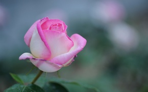 Картинка фокус, розовая, роза, цветок, природа