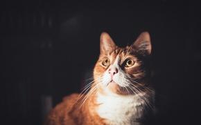Обои кошка, взгляд, фон