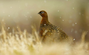 Картинка природа, птица, Шотландия, красная куропатка