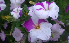 Картинка капли, цветы, роса, петуния, июль