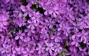 Картинка цветы, фиолетовые, Flowers, purple