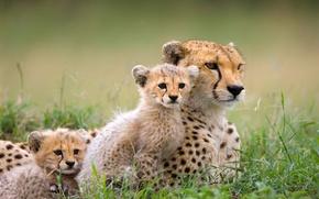 Картинка природа, котята, гепард, саванна, африка