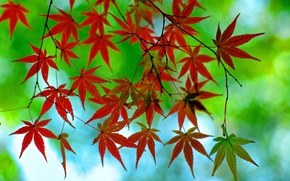 Картинка осень, листья, ветка, клен, багрянец