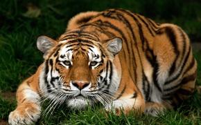 Обои кошка, животные, pussy, tiger, киса, animals, тигр, grass, киска, трава