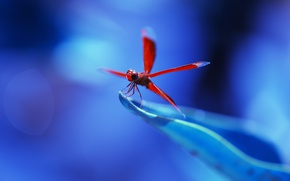 Картинка red, flower, nature, blue, dragonfly, leaf, insect, vegetation, Anisoptera