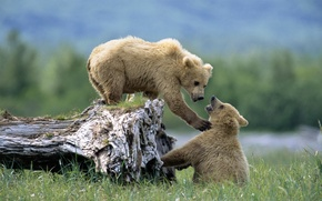 Картинка животные, трава, медведь, медведи, медвежата, дикая природа