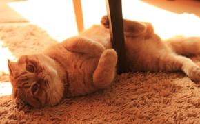 Картинка кот, вислоухий, kitten, cat, котэ, моня, scottish, fold