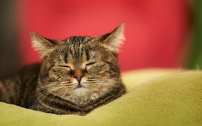 Картинка кошка, мордочка, дом, спит, одеяло, сон, кот