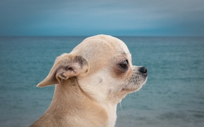 Обои собака, чихуахуа, пёсик, портрет, профиль, море, собачонка, мордочка