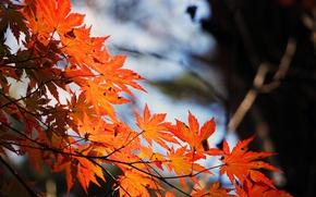 Картинка осень, ветка, размытость, кленовые листья
