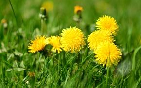 Картинка зелень, трава, желтые, одуванчики, боке
