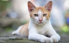 Картинка кошка, взгляд, поза, блики, портрет, бело-рыжая