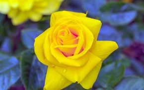 Картинка капли, роза, rose, yellow, желтая, drops