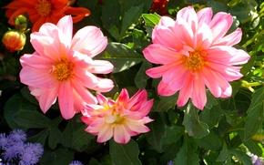 Картинка фото, Георгины, Цветы, Бутон, Розовый