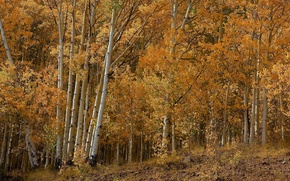 Обои береза, осина, деревья, роща, осень, лес, листья