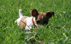 Картинка собаки, трава, взгляд, фон, обои, собака, прятки, прогулка, джек-рассел