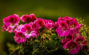 Картинка природа, растение, лепестки, сад