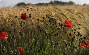 Картинка поле, цветы, рожь, маки, обои от lolita777