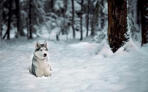 Картинка зима, лес, снег, деревья, Собака, хаски, лайка