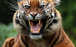Картинка морда, тигр, хищник, пасть, клыки, оскал, дикая кошка