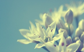 Картинка макро, цветы, фон, белые