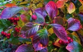 Картинка осень, листья, природа, растение, куст, плоды