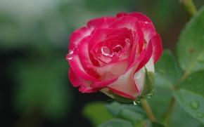Картинка капли, макро, фон, роза, бутон
