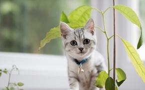 Картинка листья, котенок, растение, ошейник, смотрит