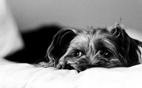 Картинка грусть, собака, постель