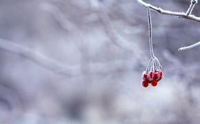 Картинка ягоды, ветка, красные, снег, зима, иней
