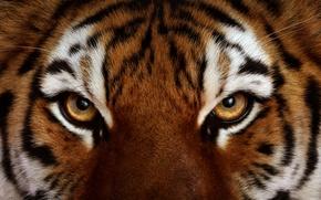 Картинка глаза, взгляд, Тигр, шерсть