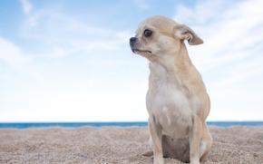 Картинка песок, небо, собака, чихуахуа, пёсик, собачонка