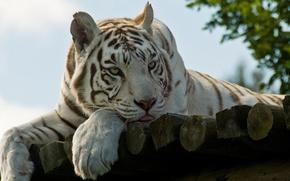 Картинка язык, взгляд, природа, Тигр, шерсть