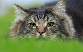 Картинка взгляд, Норвежская лесная кошка, морда, кот