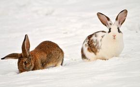 Картинка животные, снег, кролики, Two rabbits in the snow