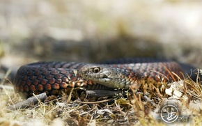 Картинка змея, фон, природа
