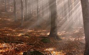 Обои лучи, деревья, желтые опавшие листья, листья, стволы, ветки, осень, лес