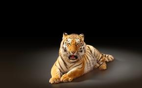 Картинка тигр, хищник, черный фон, большая кошка, амурский тигр