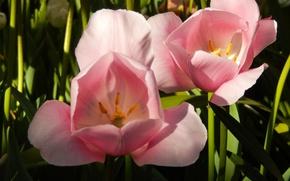 Картинка цветы, цветики, широкоформатные, широкоэкранные, widescreen, обои на рабочий стол, обои, тюльпаны, HD wallpapers, полноэкранные, тюльпан, …