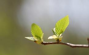Картинка зелень, листья, макро, свет, тепло, дерево, ветка, весна, зеленые, листики