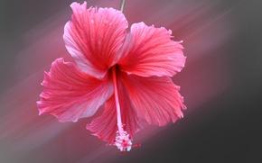 Обои гибискус, лепестки, цветок